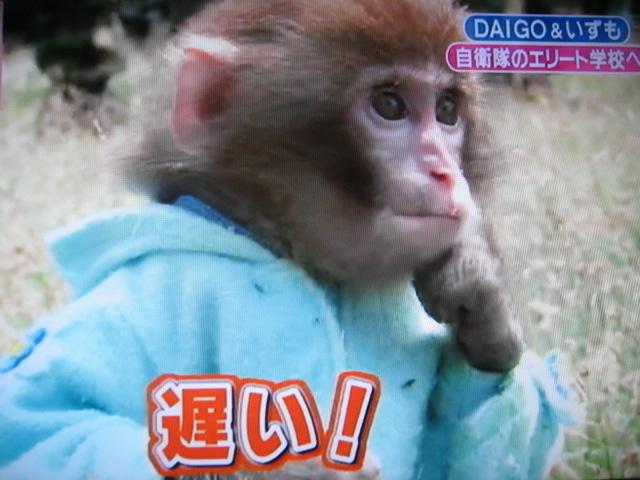 猿のいずも(日光さる軍団)の現在は?DAIGOとの関係は?【志村どうぶつ園】