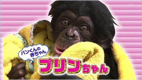 プリンちゃん(チンパンジー)の今現在の年齢は何歳?どこにいるの?【志村どうぶつ園】
