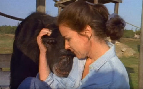 リンダ・コーブナーとチンパンジーの今現在の年齢は?スイングとドールは死亡してる?【アンビリバボー】
